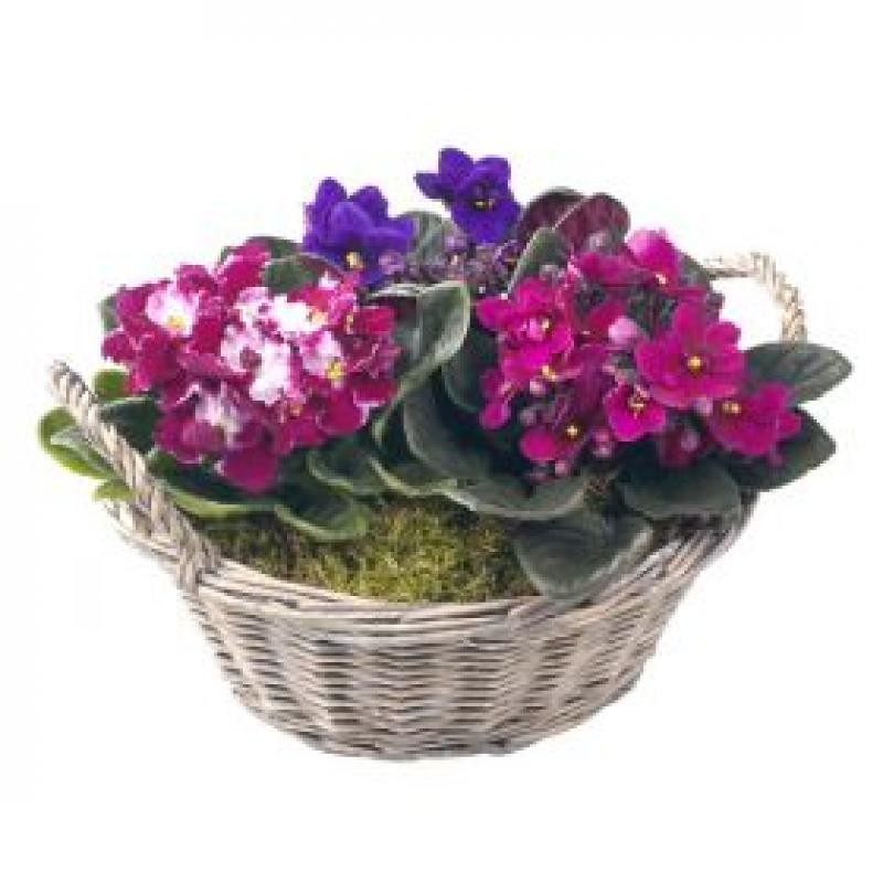 AFRICAN VIOLET BASKET. Click to enlarge